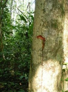 Koh Ra tree